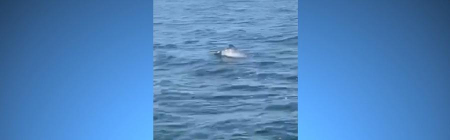 Video med marsvin