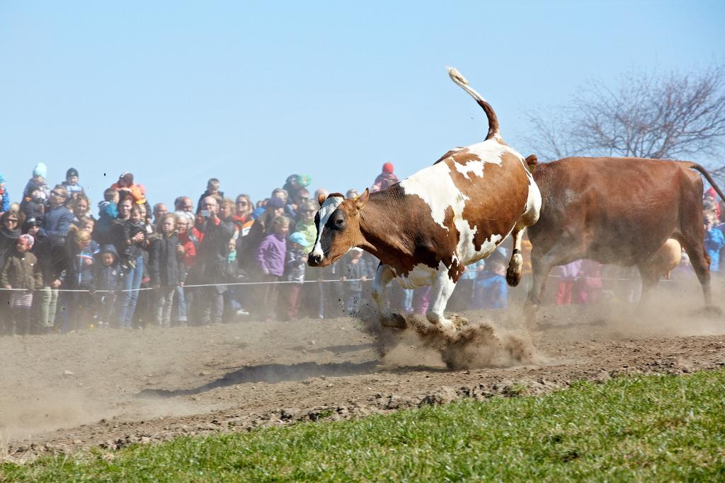 Det svært at tro, hvis man ikke lige har set det - men en ko kan både hoppe og springe - især når den kommer på græs efter en vinter i stalden.  Foto: Økologisk Landsforening.